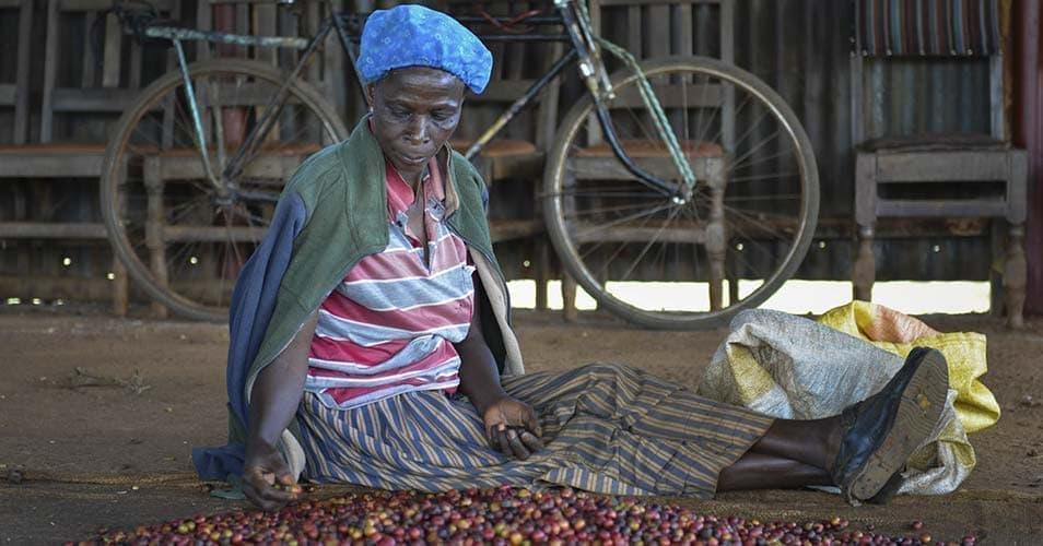 Кофе из Кении - классификация и виды кенийского кофе